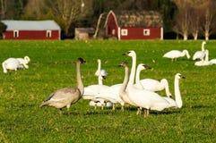 Emigracyjne śnieżne gąski karmi na gospodarstwie rolnym Obraz Royalty Free