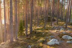 Emigrar la ruta sobre un esker con los árboles de pino Fotografía de archivo libre de regalías