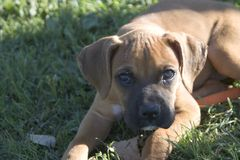 Emile looking. Emile, the baby boxer, looking toward something Stock Photo