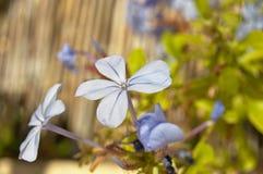 Emilia blomma Arkivfoto