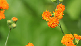 Emilia javanica or Irish Poet. Orange flowers. Emilia javanica or Irish Poet orange flowers with a blurred green background. This is an annual plant royalty free stock image