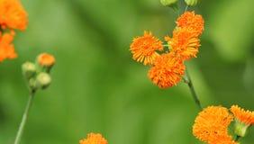 Emilia javanica lub irlandczyk poeta kwiaty pomarańczy obraz royalty free