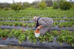 Emiralem / Izmir / Turkey, April 12, 2019, Emiralem strawberry fields, agricultural worker working in the field.  royalty free stock photo