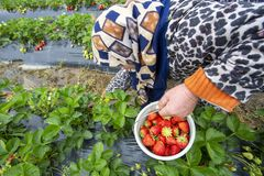 Emiralem / Izmir / Turkey, April 12, 2019, Emiralem strawberry fields, agricultural worker working in the field.  royalty free stock photography