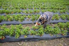 Emiralem / Izmir / Turkey, April 12, 2019, Emiralem strawberry fields, agricultural worker working in the field.  stock image