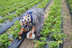 Emiralem / Izmir / Turkey, April 12, 2019, Emiralem strawberry fields, agricultural worker working in the field.  royalty free stock photos