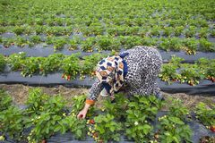 Emiralem / Izmir / Turkey, April 12, 2019, Emiralem strawberry fields, agricultural worker working in the field.  stock photos