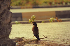 EMIRATI ARABI DI DUBAI-UNITED IL 21 GIUGNO 2017 La maggior parte del uccello del publer con il picco aperto nei UAE Fotografie Stock Libere da Diritti