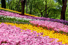 Emirgan tulip garden Stock Photo