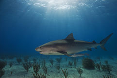 Emma Tiger Shark. Is a popular shark that hangs out at Tiger Beach, Bahamas royalty free stock photos