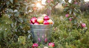 Emmer met rijpe appelen in zonsondergangtuin Stock Foto's