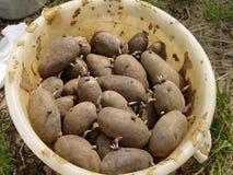 Emmer van aardappels royalty-vrije stock foto's