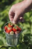 Emmer van vers geplukte aardbeien in de landbouwershand Stock Afbeeldingen