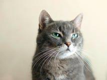 Emoção do desprezo nos olhos de gatos fotografia de stock