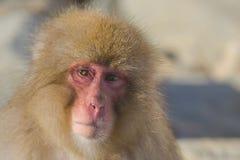 Emoções e expressões do macaco da neve: Descrença fotografia de stock