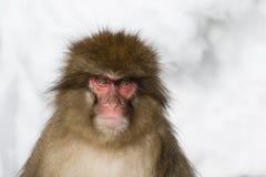 Emoções e expressões do macaco da neve: Raiva fotos de stock royalty free