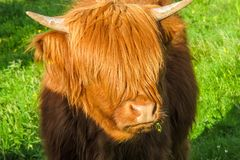An emo highland cattle cow teenager royalty free stock photo