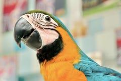 Emociones brillantes preciosas del ` s de los niños del Macaw azul y amarillo de 3 meses fotografía de archivo
