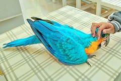 Emociones brillantes preciosas del ` s de los niños del Macaw azul y amarillo de 3 meses imagen de archivo