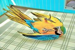 Emociones brillantes preciosas del ` s de los niños del Macaw azul y amarillo de 3 meses imagen de archivo libre de regalías