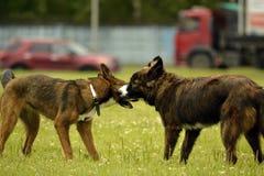 Emociones de animales Dos perros jovenes son amigos Interacción entre los perros Aspectos del comportamiento de animales imágenes de archivo libres de regalías