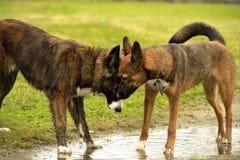 Emociones de animales Dos perros jovenes son amigos Interacción entre los perros Aspectos del comportamiento de animales foto de archivo libre de regalías