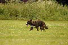 Emociones de animales Perro enérgico joven en un paseo Educación de los perritos, cynology, entrenamiento intensivo de perros jov imagen de archivo libre de regalías