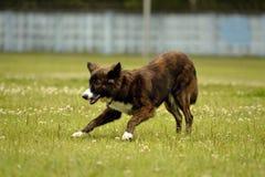 Emocje zwierzęta Młody energiczny pies na spacerze Szczeniak edukacja, kynologia, intensywny szkolenie młodzi psy Chodzący psa we zdjęcie royalty free
