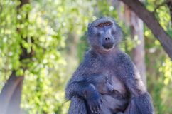 Emocjonalny portret małpy matka z jej małpim dzieckiem Obrazy Stock