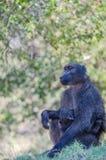 Emocjonalny portret małpy matka z jej małpim dzieckiem Zdjęcie Royalty Free