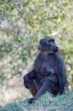 Emocjonalny portret małpy matka z jej małpim dzieckiem Zdjęcia Stock