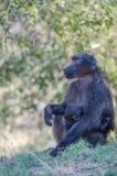 Emocjonalny portret małpy matka z jej małpim dzieckiem Zdjęcie Stock