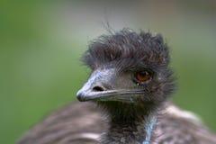 Emoe Royalty-vrije Stock Afbeeldingen