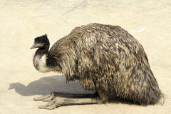 Emoe royalty-vrije stock foto