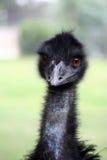 Emoe Stock Afbeeldingen