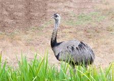 Emoe die achter lang gras lopen Stock Afbeeldingen