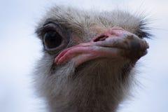 Emoe die in gevangenschap leven Dichte omhooggaand van de struisvogel Australische vogel stock afbeelding