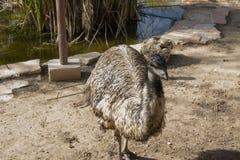 Emoe die in gevangenschap leven Dichte omhooggaand van de struisvogel Australische vogel stock foto