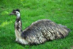 Emoe in Dierentuin Royalty-vrije Stock Afbeelding