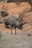 Emoe - Dromaius-novaehollandiae Royalty-vrije Stock Afbeeldingen