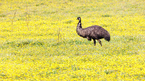 Emoe in weide met gele bloemen Stock Foto