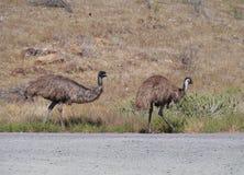 2 emoes еды Стоковое Изображение RF