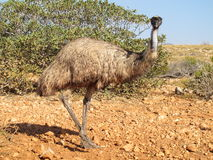 Emoes, Australië royalty-vrije stock foto