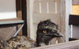 EMOEstruisvogel met zwarte verlengde hals met een droevige blik achter de omheining in de dierentuin op een Zonnige dag stock afbeeldingen