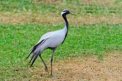 Emoiselle crane Grus virgo Royalty Free Stock Photo