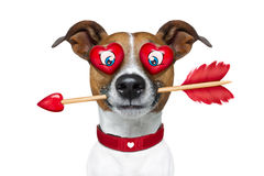 Emoticon or Emoji crazy in love. Jack russell terrier emoticon or emoji dog funny silly and crazy in love with heart on eyes ,arrow in mouth, isolated on white royalty free stock photos