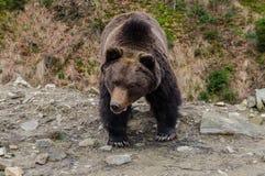 Emotins de un oso marrón salvaje Imagenes de archivo