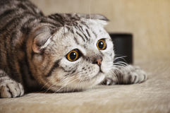Emotion cat lying on the sofa. Striped gray cat conceived prank Royalty Free Stock Photography