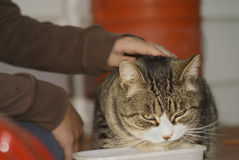Emotional Cat Annoy. A child pets a cat who is eating, and the cat is either very annoyed, pleasantly pleased, or something else, with the attention Royalty Free Stock Photography