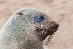 Closeup portrait of lion seal Royalty Free Stock Photography